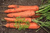 Морковь на зиму: простые правила