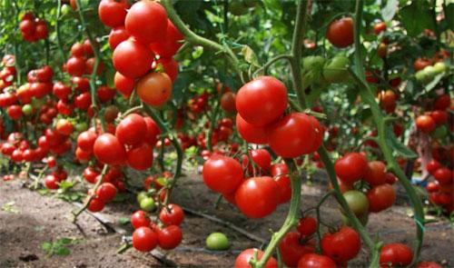 какие помидоры сажать в теплице