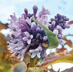 цветение сирени осенью