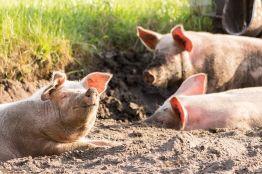 Свиньи терроризируют карельскую деревню