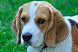 Зачем собакам желтые сережки